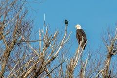 L'aigle chauve était perché sur un arbre mort avec un étourneau regardant dessus photographie stock