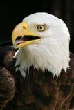 L'aigle chauve Images stock