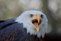 L'aigle chauve exprime avec le bec ouvert vers la caméra photos stock