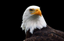 l'aigle chauve a isolé Photo stock