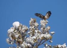 L'aigle chauve non mûr entrant pour un atterrissage sur une neige a couvert l'arbre Image stock