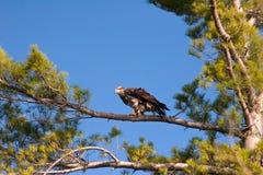 L'aigle chauve non mûr sauvage était perché dans l'arbre photo stock