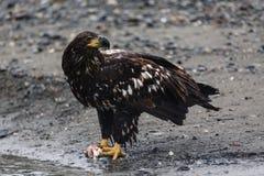 L'aigle chauve non mûr mangeant des saumons fait une pause pour observer le photographe Photo stock