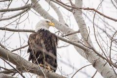 L'aigle chauve, rapace, plumes, faune, prédateur, pearched, arbre image libre de droits