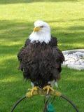 L'aigle chauve a soufflé à l'extérieur images libres de droits