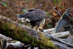 L'aigle chauve tient le morceau de saumons avec ses serres pendant qu'il mange photo libre de droits