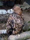 L'aigle d'or regarde au plan rapproché latéral sur la pleine taille - vue de face image libre de droits