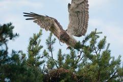 L'aigle de serpent Court-botté avec la pointe du pied par adulte avec la proie tombe au nid Images stock