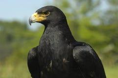 L'aigle de Verreaux Photos stock