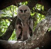 l'Aigle-hibou de Verreaux Photos stock