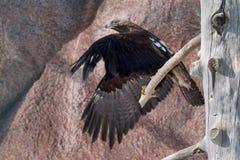 L'aigle impérial oriental vole d'un arbre sec Heliaca d'Aquila images stock