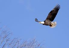 L'aigle monte dans le ciel. Photographie stock