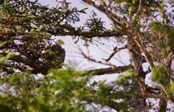 L'aigle partiellement obscurci se repose sur la branche de l'arbre impeccable regardant au-dessus de son épaule photos libres de droits