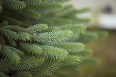 L'aiguille fraîche part sur la branche de pin au ressort photos libres de droits