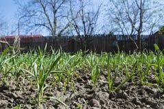 L'ail vert frais plante l'élevage dans les rangées dans l'arrière-cour Photographie stock