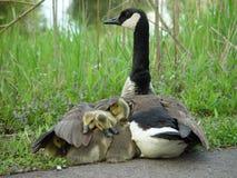 L'aile de la mère Photo libre de droits