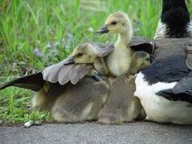 L'aile de la mère Image libre de droits