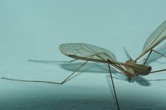 L'aile du moustique images stock