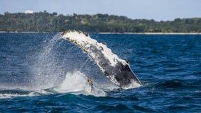 L'aileron éclaboussant la baleine de bosse madagascar Île du ` s de St Mary Images libres de droits