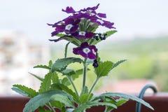 L'aiola con le petunie multicoloured, hybrida colourful della petunia della petunia fiorisce Immagine Stock Libera da Diritti