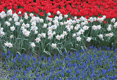 L'aiola con tre ha colorato i tulipani rossi dei fiori, narciso bianco Fotografie Stock