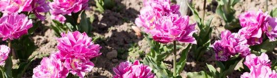 L'aiola del tulipano riccio rosa fiorisce, insegna per panorama naturale Immagini Stock
