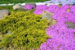L'aiola variopinta della molla del flox di muschio o del subulata del flox fiorisce con l'albero sempreverde del thuja Fotografie Stock Libere da Diritti