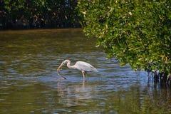 L'airone blu cattura il serpente della mangrovia Fotografia Stock Libera da Diritti