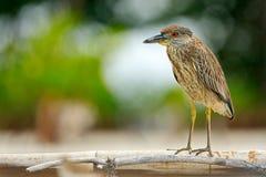 L'airone che si siede sul fiume ha costato l'airone che si siede sulla pietra Nicticora, nycticorax nycticorax, uccello acquatico fotografia stock