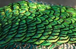 L'ala del pavone mette le piume al primo piano Immagine Stock Libera da Diritti