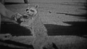 L'ALABAMA, 1941 : Équipez manipuler un raton laveur sauvage de bébé dans la région forestière inexploitée rurale banque de vidéos