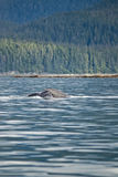 L'Alaska - baleine de bosse - détail Photo stock