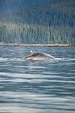 L'Alaska - baleine de bosse - détail Photographie stock
