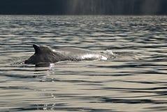L'Alaska - baleine de bosse - détail Photographie stock libre de droits