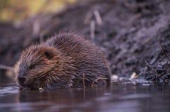 L'Alaska - castoro Immagini Stock