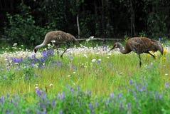 L'Alaska deux grues de Sandhill dans un domaine des Wildflowers Images libres de droits