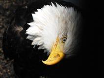 L'Alaska se ferment de la tête du ` s d'Eagle tournée à un côté photos stock