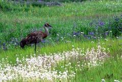 L'Alaska une belle grue de Sandhill dans les Wildflowers images libres de droits