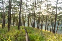 L'alba in foreste dei pini e vetro giallo Immagine Stock Libera da Diritti