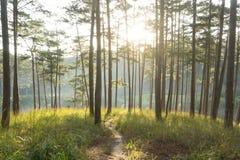 L'alba in foreste dei pini e vetro giallo Immagini Stock