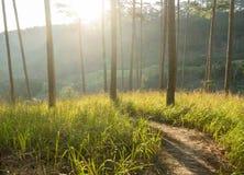 L'alba in foreste dei pini e vetro giallo Immagine Stock