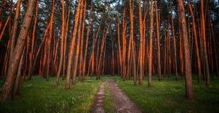 L'alba nei tronchi del forestThe del pino dei pini è rossa dal sole di aumento Paesaggio stupefacente immagini stock libere da diritti