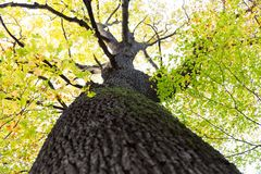 L'albero alto con la corteccia ed il muschio di albero scuri lascia in giallo verde o immagine stock