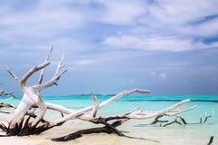 L'albero appassito antico mette sulla spiaggia dell'oceano sotto un cielo blu Fotografia Stock