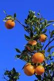 L'albero arancione Fotografia Stock Libera da Diritti