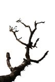 L'albero asciutto è isolato su bianco Fotografie Stock