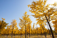 L'albero brillante del ginkgo del sole Immagini Stock
