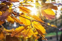 L'albero con giallo lascia nel tramonto, scena naturale Fotografie Stock