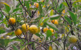 L'albero con la frutta del mandarino si è girato nel film d'annata fotografie stock