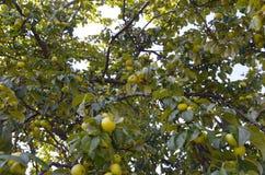 L'albero da frutto selvaggio Fotografie Stock